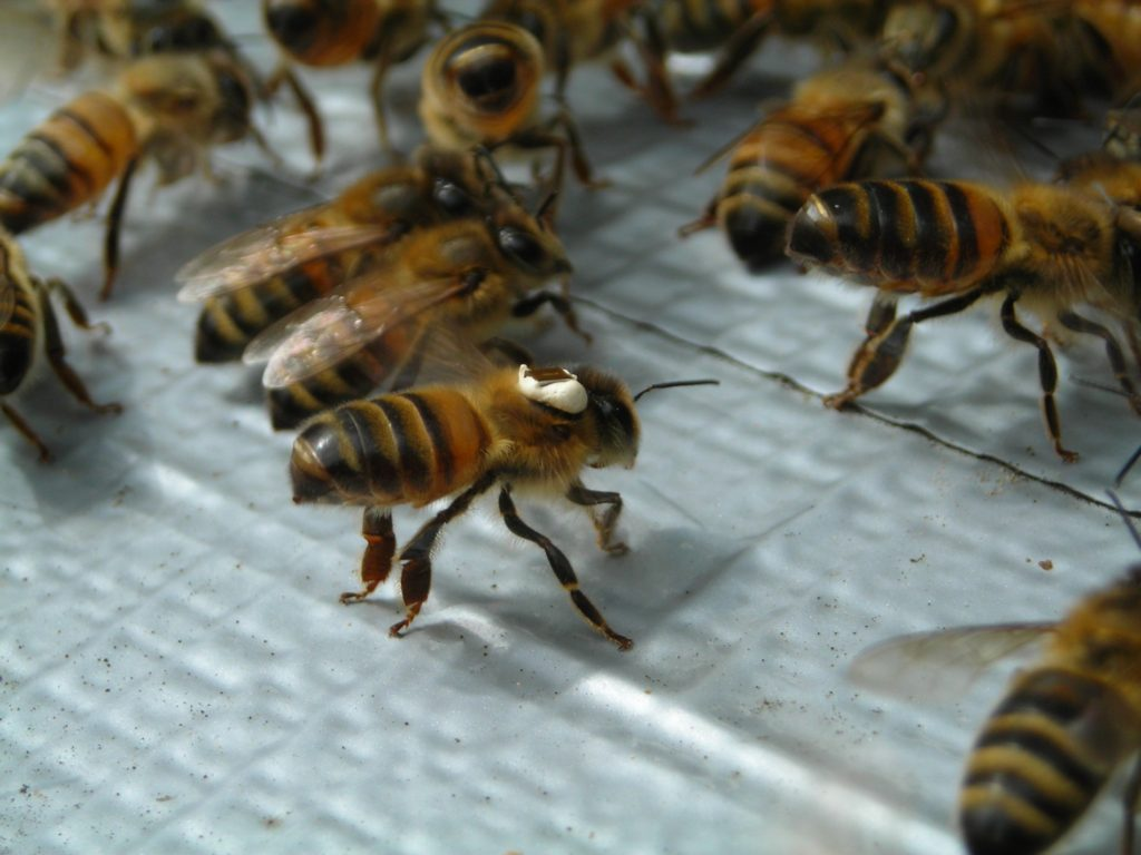 Bees with RFID tags